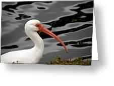 Portrait Of A White Ibis Greeting Card