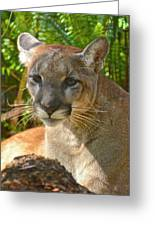 Portrait Of A Young Florida Panther Greeting Card