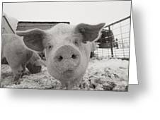 Portrait Of A Young Pig. Property Greeting Card by Joel Sartore