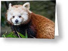 Portrait Of Cini The Red Panda Greeting Card