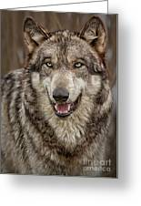 Portrait Of Gray Wolf Greeting Card