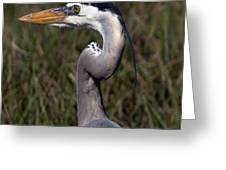 Portrait Of Great Blue Heron Greeting Card