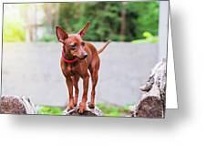 Portrait Of Red Miniature Pinscher Dog Greeting Card