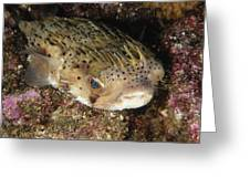 Porupinefish Close-up Portrait Sleeping Greeting Card by James Forte