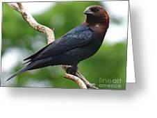 Posing Brown-headed Cowbird Greeting Card