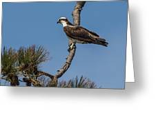 Posing Osprey Greeting Card