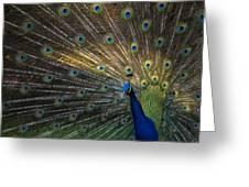 Posing Peacock Greeting Card