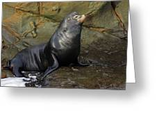 Posing Sea Lion Greeting Card