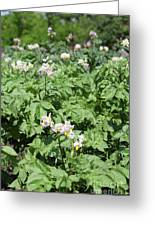 Potato Flower Agriculture Spring Scene Greeting Card