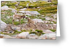 Practicing Baby Bighorn Sheep On Mount Evans Colorado Greeting Card