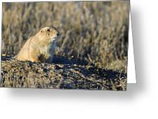 Prairie Dog Watchful Eye Greeting Card
