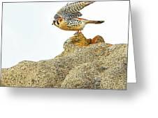 Prairie Falcon Greeting Card