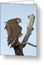 Prairie Falcon Stretching Greeting Card