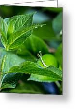 Praying Mantis-1 Greeting Card