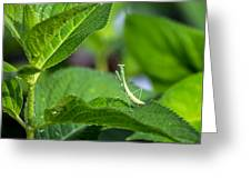Praying Mantis-2 Greeting Card