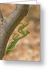 Praying Mantis On The Hunt Greeting Card