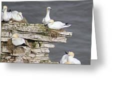 Precarious Nesting Bempton Gannets Greeting Card