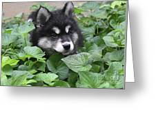 Precious Fluffy Alusky Puppy Dog In Green Foliage Greeting Card