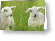 Precious Lambs Greeting Card