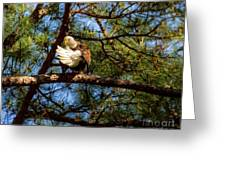 Preening Bald Eagle Greeting Card