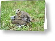 Preening Dove Greeting Card