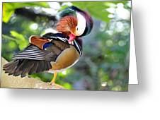 Preening Duck Greeting Card
