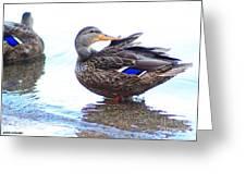 Preening Duck ... Montana Art Photo  Greeting Card