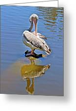Preening Pelican Greeting Card