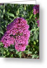 Pretty Blooming Pink Phlox Flowers In A Garden Greeting Card