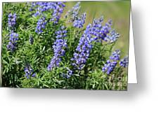 Pretty Blue Flowers Of Silky Lupine Greeting Card