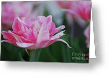 Pretty Candy Striped Pale Pink Tulip In Bloom Greeting Card