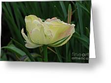 Pretty Cream Colored Tulip Edged In Red With Dew Greeting Card