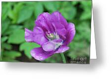 Pretty Flowering Purple Parrot Tulip In A Garden Greeting Card