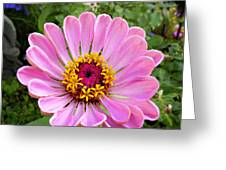 Pretty In Pink Zinnia Greeting Card