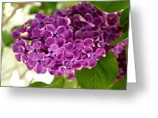 Pretty Lilac Bush Greeting Card