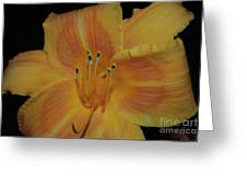 Pretty Orange Daylily Flowering With Pollen On It's Stamen Greeting Card