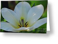 Pretty Perfect White Tulip Flower Blossom In The Spring Greeting Card