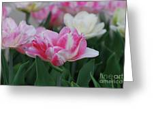 Pretty Pink And White Striped Ruffled Parrot Tulips Greeting Card