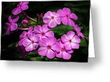 Pretty Pink Phlox  Greeting Card