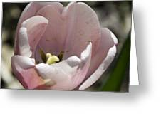 Pretty Pink Tulip Squared Greeting Card