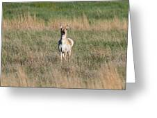 Pretty Pronghorn On The Plains Greeting Card