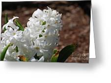 Pretty White Hyacinth Flower Blossom Flowering Greeting Card