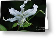Pretty White Stargazer Lily Flower Blossom Greeting Card