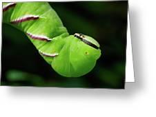 Privet Hawk Moth Caterpillar Greeting Card