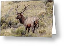 Prize Bull Elk Greeting Card