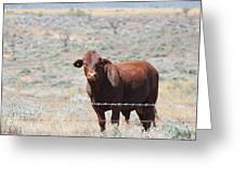 Proby's Cow Greeting Card