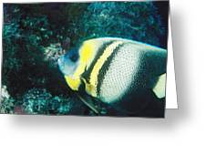 Profile Of A Cortez Angelfish Greeting Card by James Forte