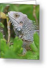 Profile Of A Gray Iguana In The Top Of A Bush Greeting Card
