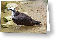 Profile Of An Osprey Bird In The Shallows Greeting Card