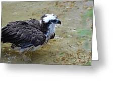 Profile Of An Osprey In Shallow Water Greeting Card